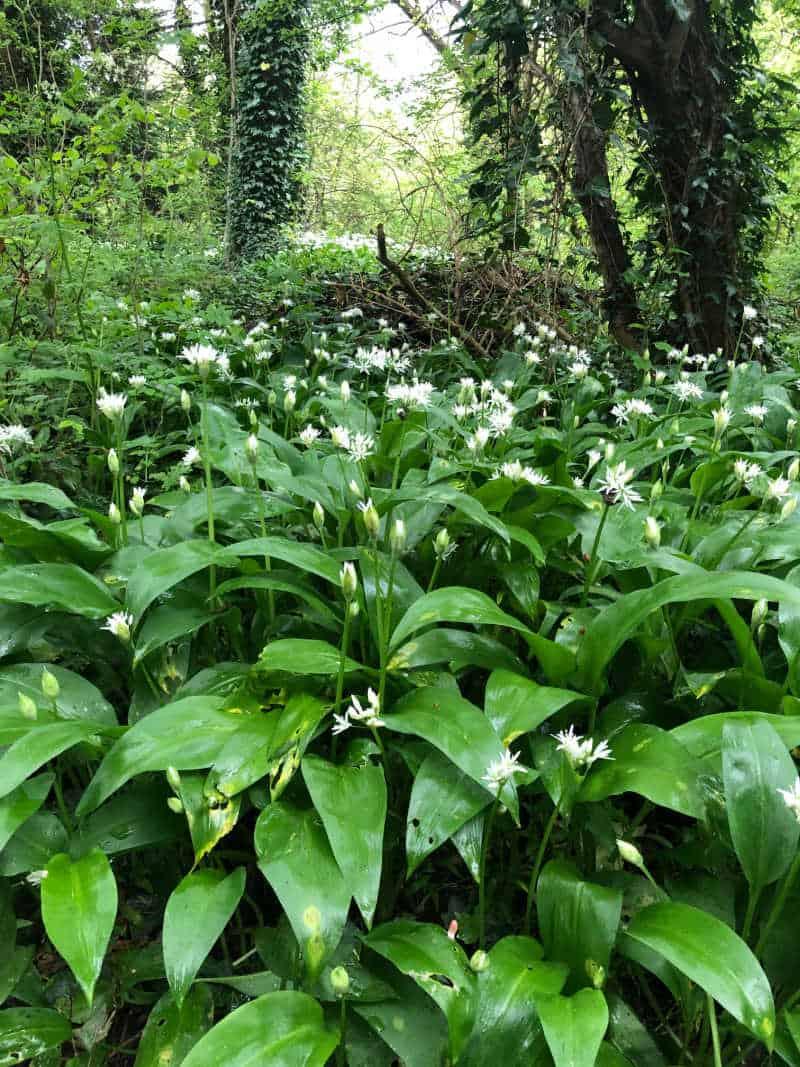 kings norton nature reserve wild garlic